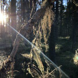 Urskogen i Pyhä-Häkki nationalpark